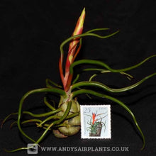 Load image into Gallery viewer, Tillandsia bulbosa - Andy's Air Plants