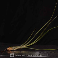 Load image into Gallery viewer, Tillandsia butzii - Andy's Air Plants