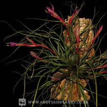 Load image into Gallery viewer, Mesic Selection Pack - Andy's Air Plants