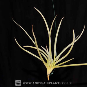 Tillandsia caliginosa - Andy's Air Plants