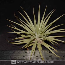 Load image into Gallery viewer, Tillandsia espinosae - Andy's Air Plants