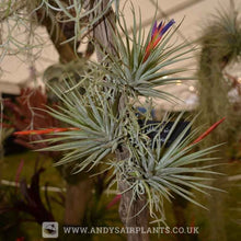 Load image into Gallery viewer, Tillandsia espinosae Mounted on drift wood - Andy's Air Plants