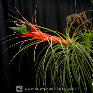 Tillandsia punctulata - Andy's Air Plants