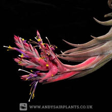 Load image into Gallery viewer, Tillandsia seleriana Mounted on Drift Wood - Andy's Air Plants