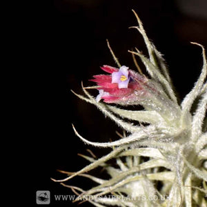 Tillandsia stellifera - Andy's Air Plants