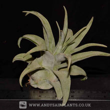Load image into Gallery viewer, Tillandsia streptophylla - Andy's Air Plants