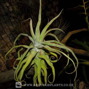 Tillandsia streptophylla - Andy's Air Plants
