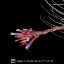 Load image into Gallery viewer, Tillandsia tectorum Caulescent Form - Andy's Air Plants