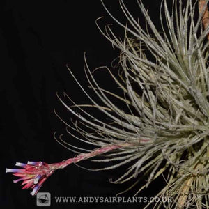 Tillandsia tectorum Caulescent Form - Andy's Air Plants