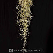 Load image into Gallery viewer, Tillandsia usneoides 'Spanish Moss' Large clump - Andy's Air Plants