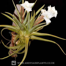 Load image into Gallery viewer, Tillandsia xiphioides - Andy's Air Plants