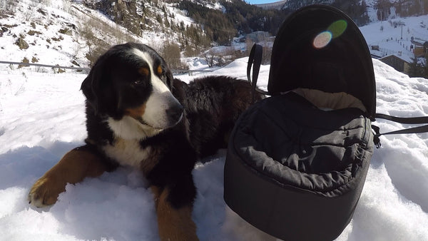 Squash Falconer's dog next to baby in Mountain Buggy cocoon