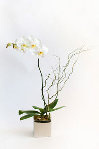 Tall white orchid potted in a shiny gold ceramic cube.