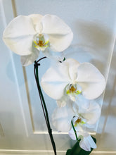 Load image into Gallery viewer, Phalaenopsis Orchid Plant