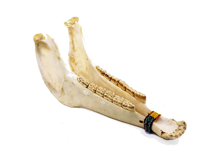 Jaw Bone Rattle - J028