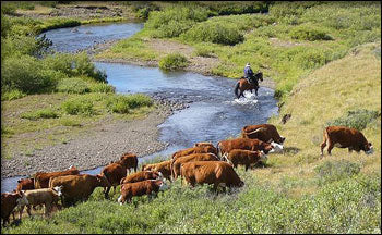 Cattle Drive Chilcotin BC