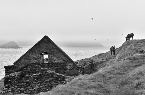 Two donkeys grazing on the Great Blasket Island by an old stone cottage with a blanket of mist and birds overhead.