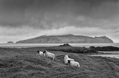 Sheep grazing on the Great Blasket Island with the Sleeping Giant in the background and an ominous cloud overhead.