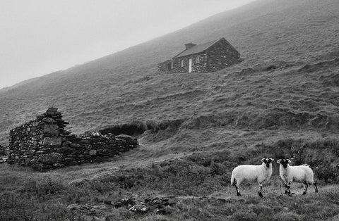 A hill featuring a renovated cottage and a derelict cottage with two sheep looking straight at the camera.