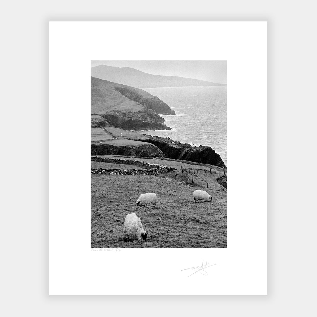 Dingle Sheep