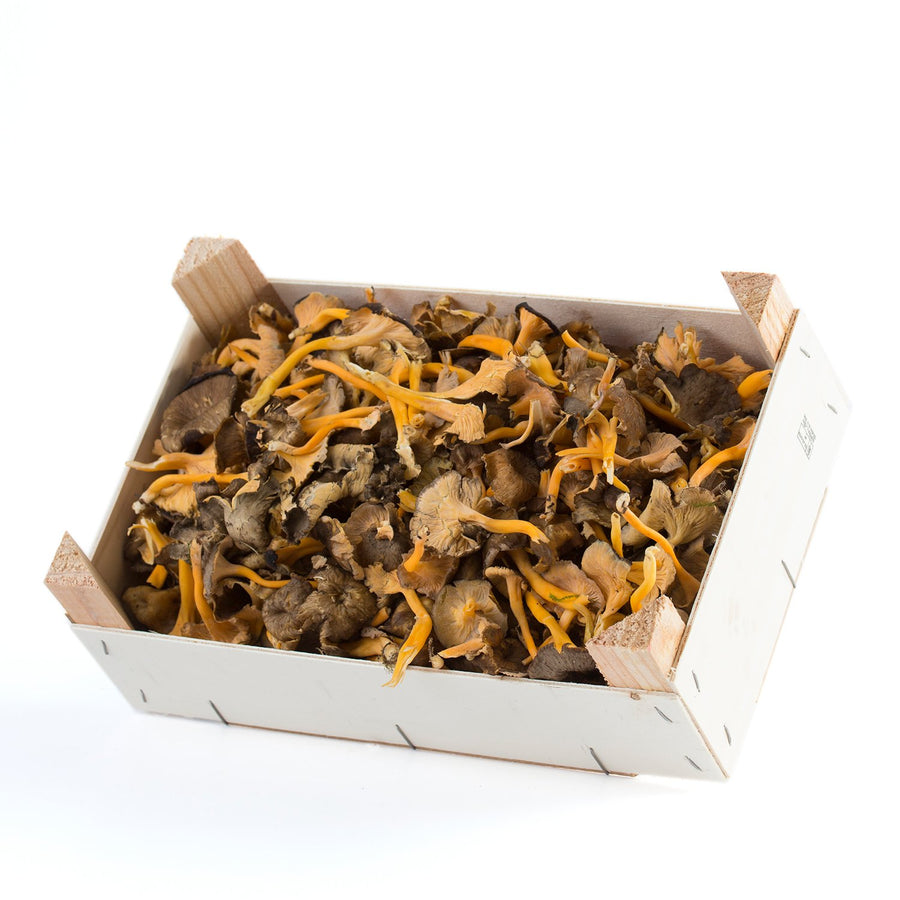 Wild Mountain Gula Box (Lutecens)