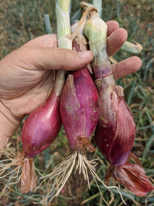 Red Italian Torpedo Onions (Perennial), Bundle of 3