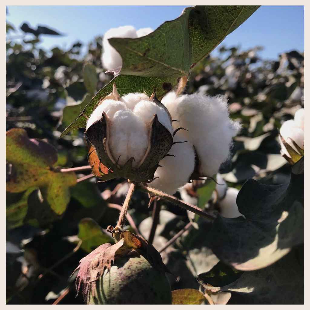 Turkish Cotton Co. picture of a cotton plant