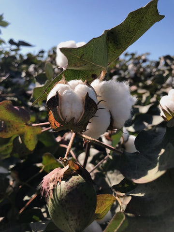 Turkish Cotton Co. Cotton Plant