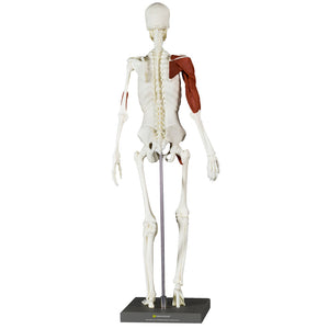 Balanced Body® Anatomy & Movement Kit