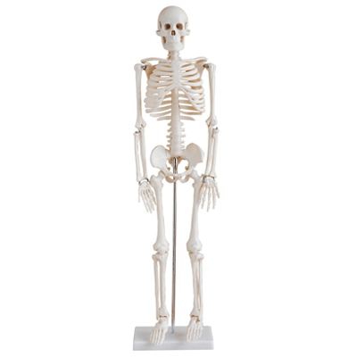 Skeleton - 85cm Tall