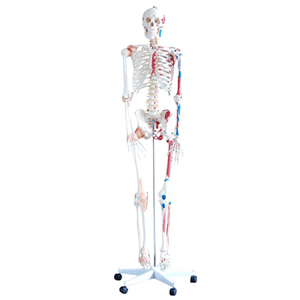 Skeleton - with Muscles and Ligaments 180cm Tall