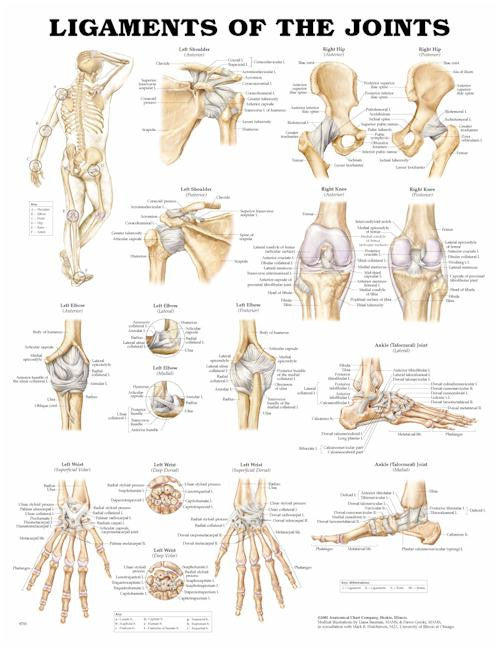 Ligaments of the Joints