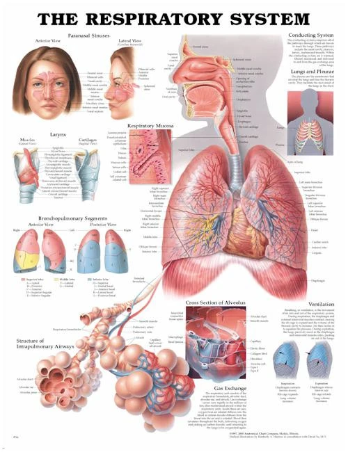 The Respiratory System A2 Poster