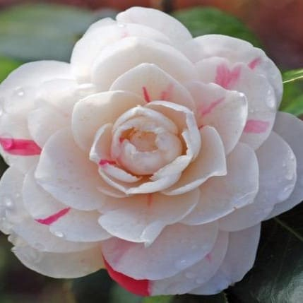 Camellia April Dawn