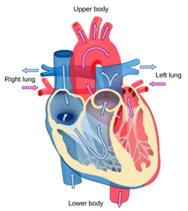 how a heart works