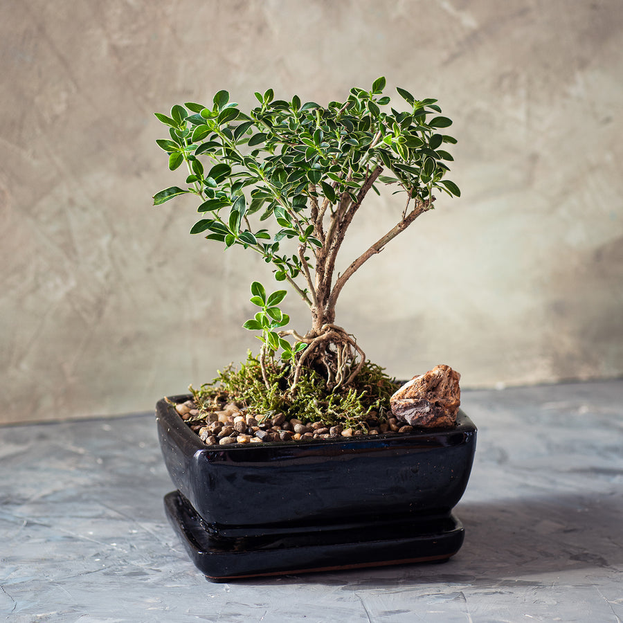 Snow Rose Variegated Exposed Roots Bonsai Tree is a ceramic pot