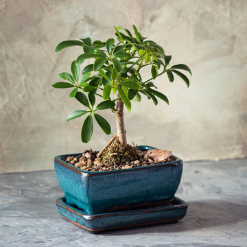Schefflera Bonsai Tree in the Ceramic Pot