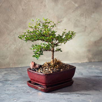 Black Olive Bonsai Tree in a Ceramic Pot