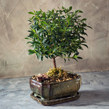 Brush Cherry Eugenia Bonsai Tree in a Ceramic Pot