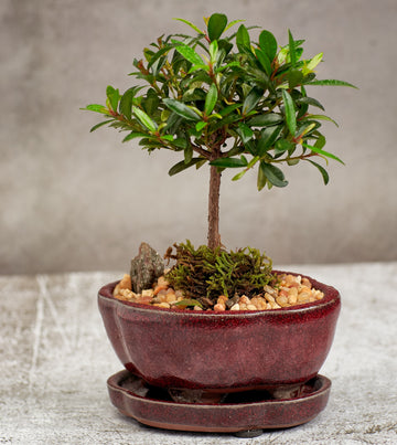 Eugenia Brush Cherry Bonsai Tree in a Ceramic Pot