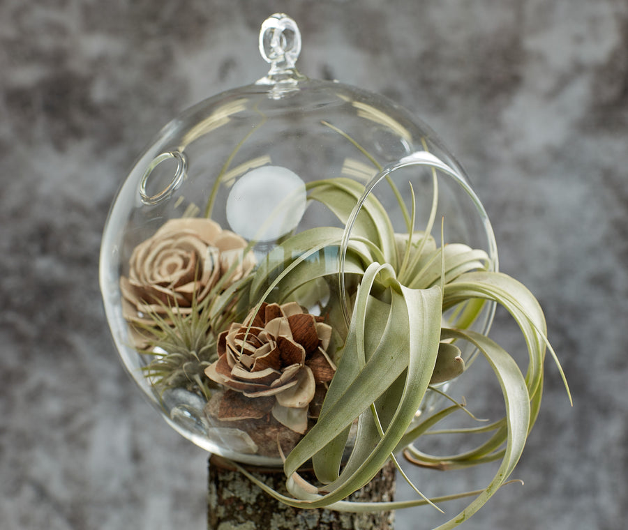 Air Plants Terrarium; Florarium