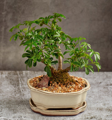 Shefflera Bonsai Tree in a Ceramic Pot