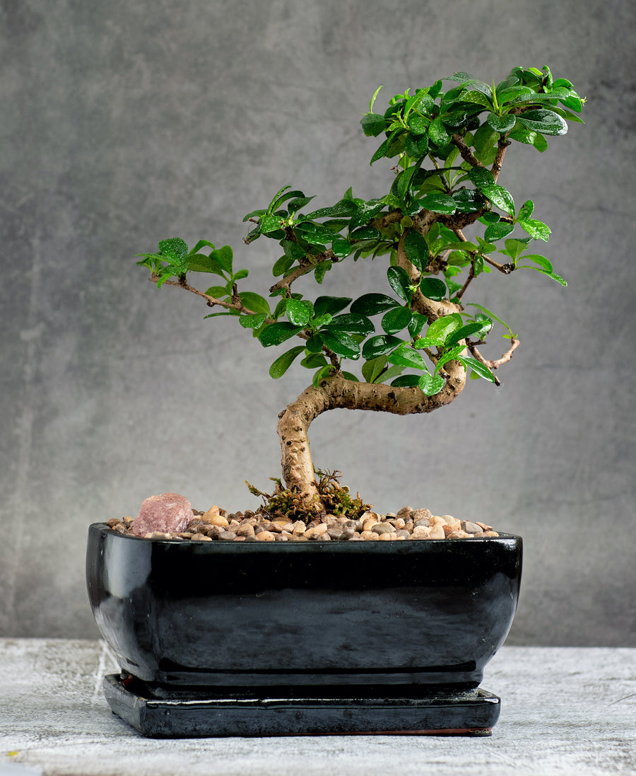 Extraordinary Fukien Tea