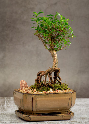 Snow Rose Serissa Exposed Roots Bonsai Tree in a ceramic Pot