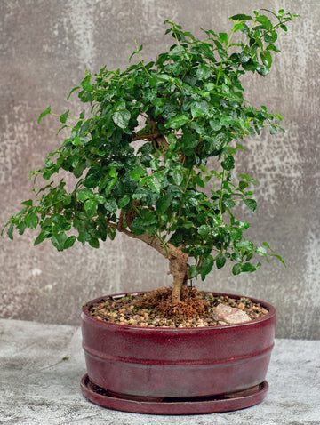 Chinese Privet Bonsai Tree in a Ceramic Pot