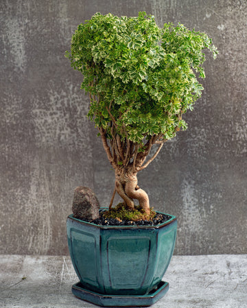 Ming Aralia Bonsai Tree in a Ceramic Pot