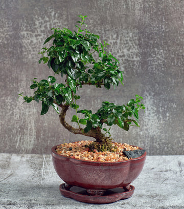 Fukien Tea Bonsai Tree in a Ceramic Pot