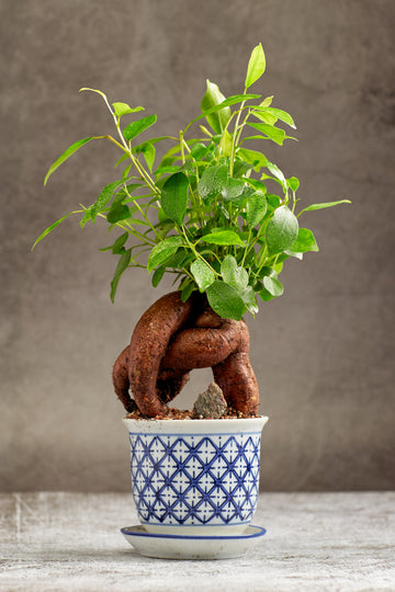 Ginseng Bonsai Tree in a Ceramic Pot