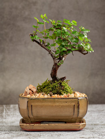 Sweet Plum Bonsai Tree in a Ceramic Pot