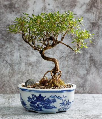 Serissa Snow Rose Bonsai in a Ceramic Pot